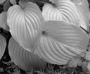 01 silver ribbed leaves