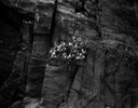 05 fine flowers on rock face 74S-24.jpg